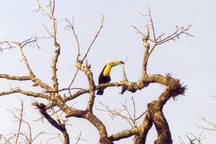 San jorge toucan